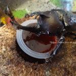 (2)成虫飼育・産卵編/カブトムシ飼育記録